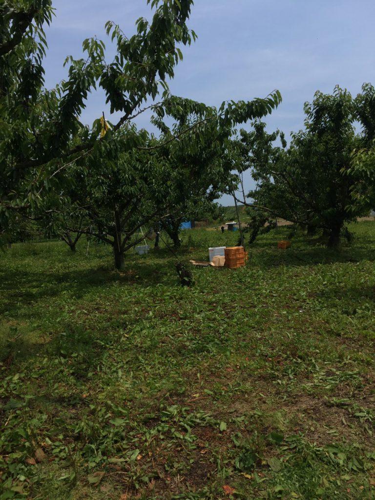 果樹園の畑を耕す2