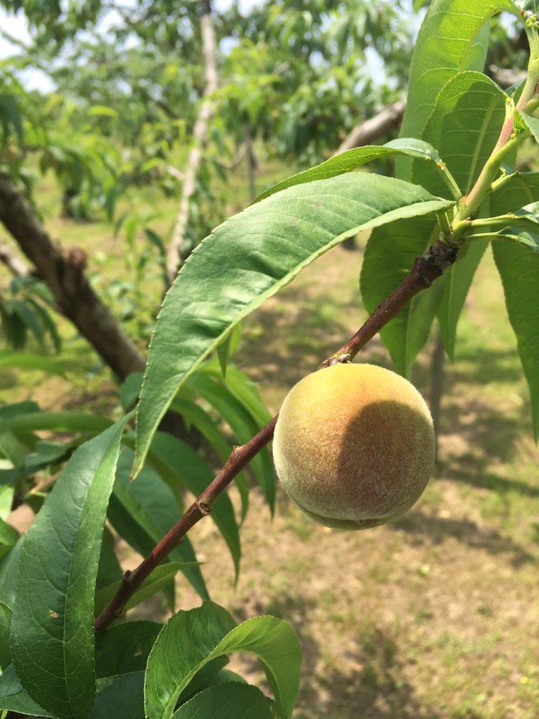 山形果樹園の桃の木