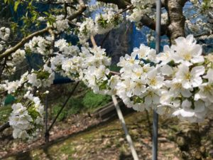 さくらんぼの木は綺麗な花